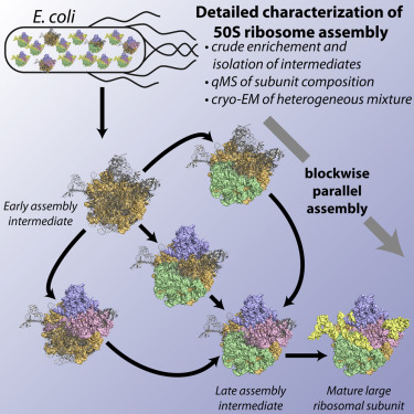 Characterization of 50S ribosome assembly. See: Davis, J. H., Y. Z. Tan, B. Carragher, C. S. Potter, D. Lyumkis, and J. R. Williamson. 2016. Modular Assembly of the Bacterial Large Ribosomal Subunit. Cell 167:1610-1622 e1615.